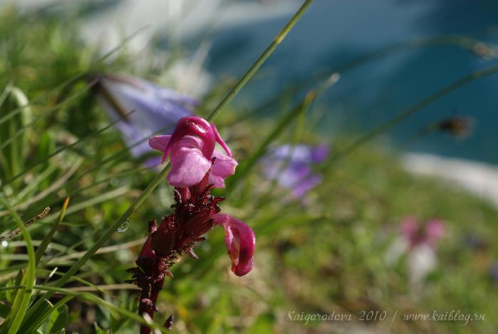 цветы в высокогорье
