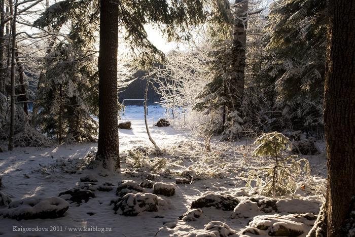 Пихты под снегом