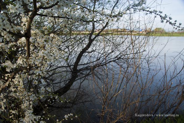 Цветут вишни