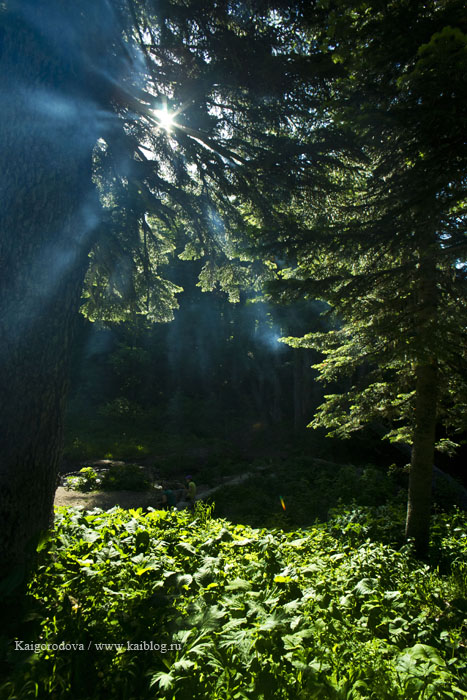 утро в пихтовом лесу
